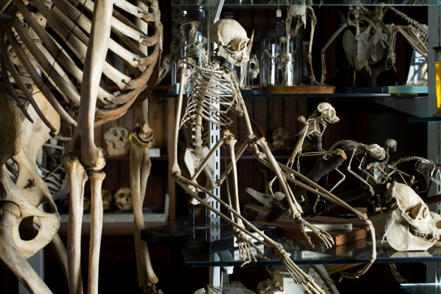 Primate skeletons in the Grant Museum of Zoology. ©UCL, Grant Museum of Zoology and Matt Clayton